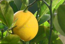 Limon Meyera 218x150