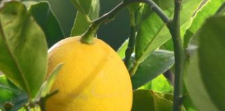 Limon Meyera 324x160