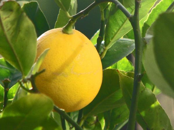 Limon Meyera
