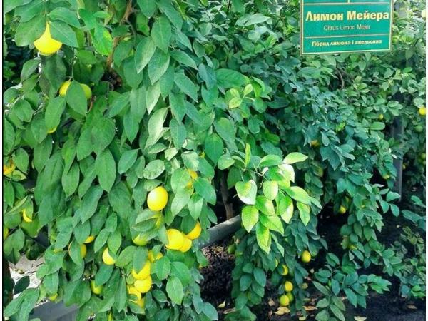 Limon Meyera 0