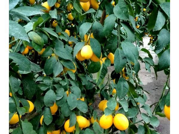 Limon Meyera 1