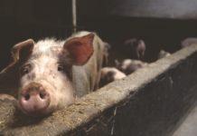 Pig 2587046 1280 218x150