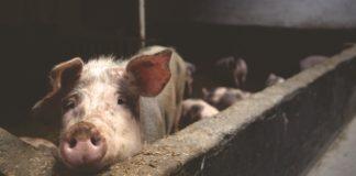 Pig 2587046 1280 324x160