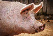 Pig 3834738 1280 218x150