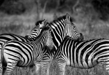 Zebra 1141302 1280 218x150