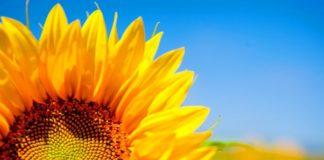 Sunflower Kopyya 696x426 324x160