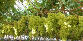 Grapes In Greenhouses On Hydroponics 324x160