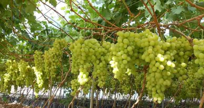 Grapes In Greenhouses On Hydroponics 696x368