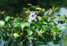 Water Hyacinth 218x150