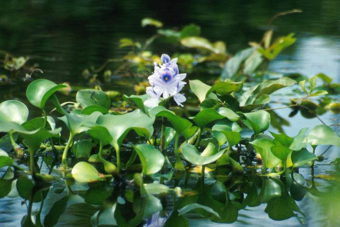 Water Hyacinth 696x465