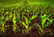 75861765 Maisfeld Mit Jungen Pflanzen Auf Fruchtbaren Boden Eine Nahaufnahme Mit Lebendigem Gr N Auf Dunkelbraun 218x150