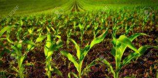 75861765 Maisfeld Mit Jungen Pflanzen Auf Fruchtbaren Boden Eine Nahaufnahme Mit Lebendigem Gr N Auf Dunkelbraun 324x160