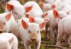 Pigs 1 100x70