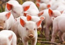 Pigs 1 218x150