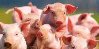 Pigs1 69b53 324x160