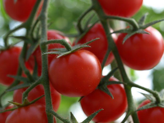 V Ukrayini Teplychni Tomaty Zdorozhchaly Na 20