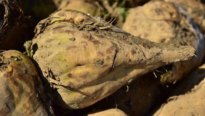 Ukrprominvest Agro Znyzyv Na 7 Pererobku Tsukrovogo Buryaku
