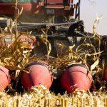 Popry Nedobir Kukurudzy V Ukrayiny Sumshhyna Zbyraye 100 Tsga